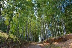 Camino forestal en arboleda del abedul del verano Fotos de archivo