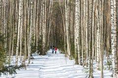 Camino forestal en la arboleda del abedul Fotos de archivo libres de regalías