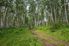 Camino forestal en la arboleda del abedul en el verano en un día de verano soleado Fotografía de archivo libre de regalías