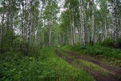Camino forestal en la arboleda del abedul en un día de verano Imagen de archivo libre de regalías