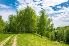 Camino forestal a la arboleda del abedul Fotos de archivo libres de regalías