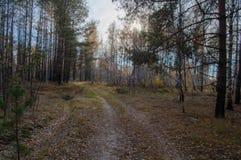 Camino forestal a la arboleda del abedul debajo del cielo azul Foto de archivo libre de regalías