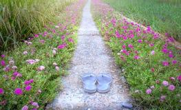 Camino grandiflora de la flor de Portulaca foto de archivo