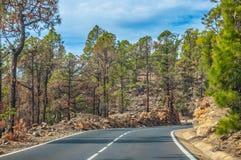 Camino a lo largo de los pinos canarios en Corona Forestal Nature Park, Te Fotos de archivo