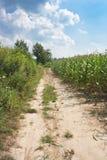 Camino a lo largo del campo de maíz Fotos de archivo