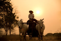 Camino rural birmano, dos vacas blancas que tiran de un carro de madera Foto de archivo libre de regalías