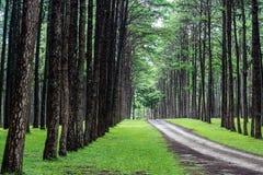 Camino rural en bosque del pino Imágenes de archivo libres de regalías