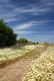 Camino salvaje del prado de la margarita Foto de archivo libre de regalías