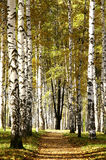 Camino soleado en arboleda del abedul de la tarde del otoño Fotografía de archivo