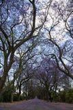 Camino suburbano con la línea de árboles del jacaranda y de pequeñas flores Fotografía de archivo libre de regalías