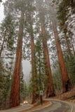 Camino a través de árboles de la secoya en Yosemite imagen de archivo libre de regalías