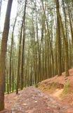 Camino a través de árboles de pino en el pino Forest Valley, Vagamon, Idukki, Kerala, la India Imagen de archivo libre de regalías