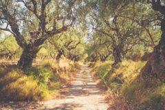 Camino a través de la arboleda verde oliva Foto de archivo libre de regalías