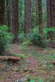 Camino a través de un bosque de la conífera Imagenes de archivo