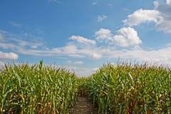 Camino a través de un campo de maíz con el cielo azul y la nube Foto de archivo libre de regalías