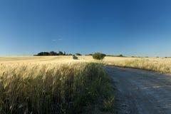 Camino a través del campo de trigo Imagen de archivo libre de regalías