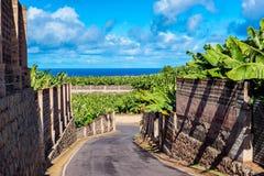 Camino a través de la plantación de plátano en Tenerife Imagen de archivo