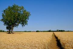 Camino a través de un campo de la cebada Fotografía de archivo libre de regalías