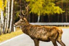 Camino vac?o de la traves?a del macho de los ciervos comunes en paisaje del oto?o imagenes de archivo