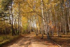 Camino viejo en birchwood del otoño Imagen de archivo libre de regalías