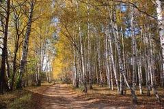 Camino viejo en birchwood del otoño Fotografía de archivo