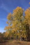 Camino viejo en birchwood del otoño Imagenes de archivo