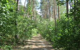 Camino y pinos Fotografía de archivo libre de regalías