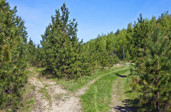 Caminos de tierra en el bosque del pino Fotos de archivo libres de regalías