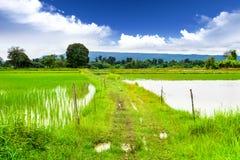 Caminos en campos del arroz Fotografía de archivo