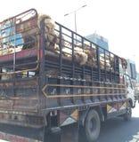 Camion de moutons Photographie stock libre de droits