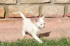 Camionete impar-eyed pequena atenta gato fotos de stock