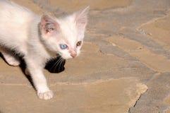 Camionete impar-eyed pequena atenta gato fotografia de stock