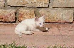 Camionete impar-eyed pequena atenta gato imagens de stock
