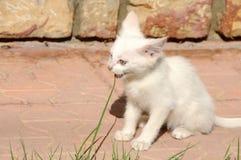 Camionete impar-eyed pequena gato que come a grama imagens de stock