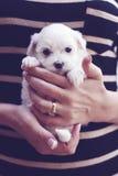 Camisa rayada del pequeño perrito maltés Fotos de archivo