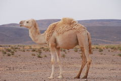 Caml in Desert Stock Photography