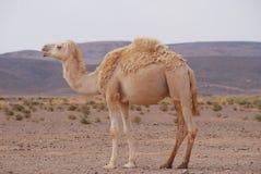 Caml no deserto fotografia de stock