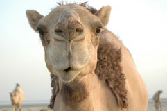 Camle 3. Camel Face Stock Photo