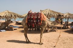 Camle on the beach. Posing camel on egypt beach Royalty Free Stock Images