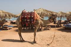 Camle on the beach. Posing camel on egypt beach Stock Images