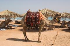camle na plaży Obrazy Royalty Free