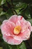 Camélia cor-de-rosa Fotografia de Stock