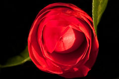 Camélia rouge simple Photographie stock libre de droits