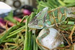 Caméléon coloré par vert Image libre de droits