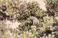Caméléon de Namaqua Photos libres de droits