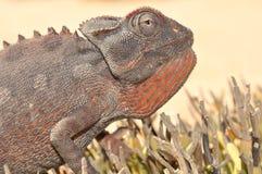 Caméléon de Namaqua Photographie stock libre de droits