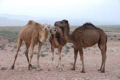 Camls w pustyni Obraz Royalty Free