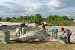 CAMMA RANH, VIETNAM - 1° APRILE 2017: Patata dolce del raccolto degli agricoltori Immagine Stock Libera da Diritti