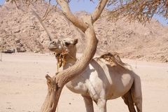 A cammel at Namibia Desert Royalty Free Stock Images