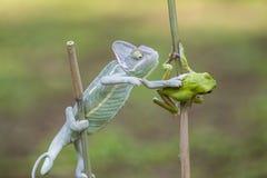 cammeleons和青蛙 免版税库存图片